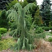 Название: juniperus_horstmann29-2.jpg Просмотров: 369  Размер: 26.3 Кб